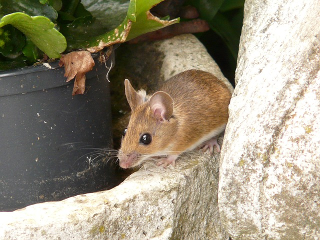 wood-mouse-8175_640