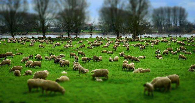 sheep-1305432_640