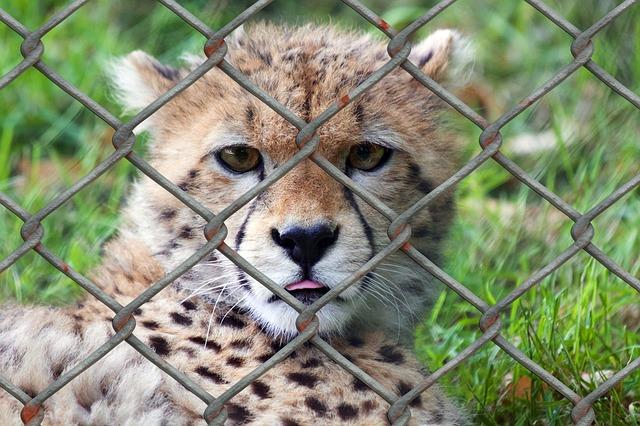 cheetah-509100_640