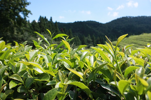 green-tea-plantation-497792_640