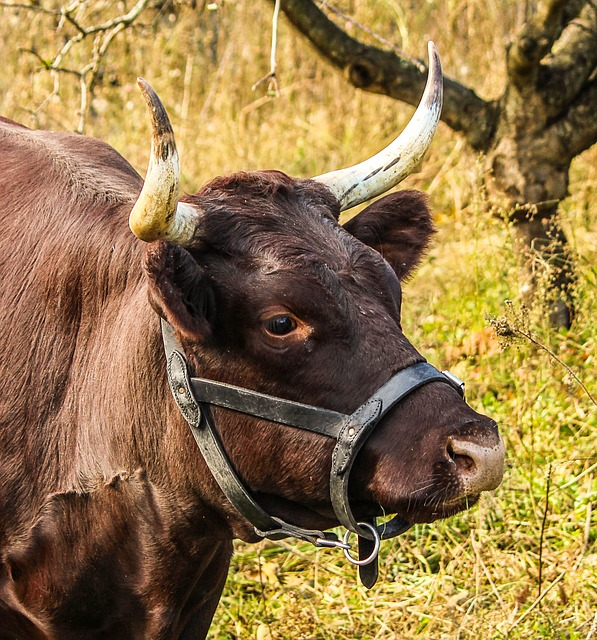 cow-201829_640