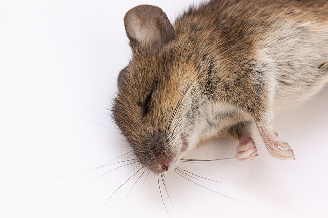 mouse-350063_640