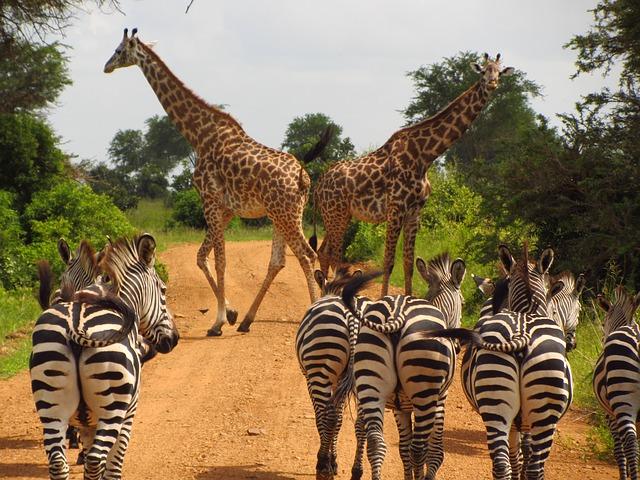 zebras-765885_640