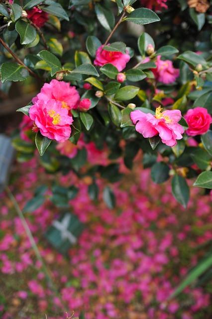 camellia-sasanqua-648319_640