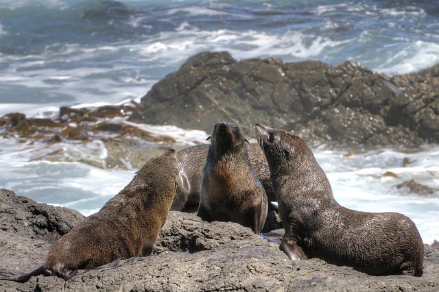 fur-seal-93496_640