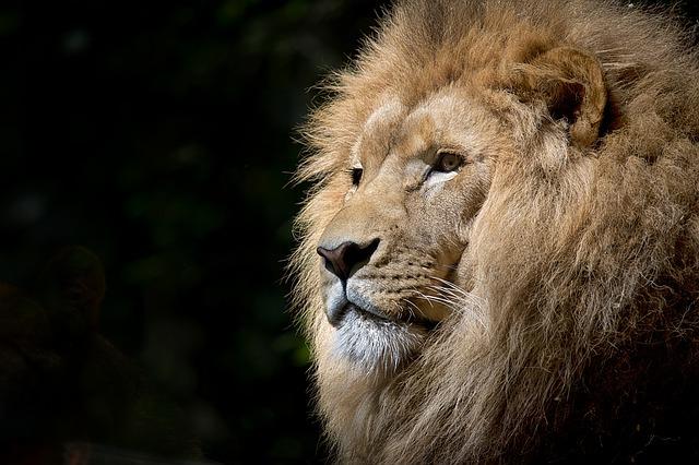 lion-1118467_640