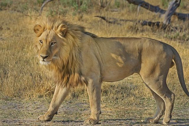 lion-515030_640