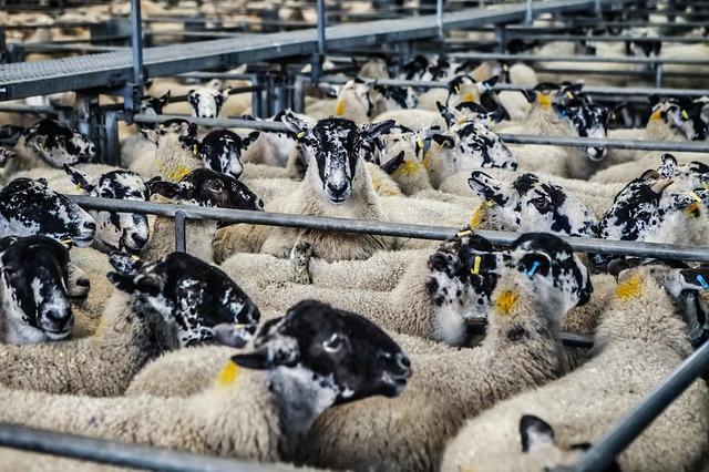 sheep-678196_640