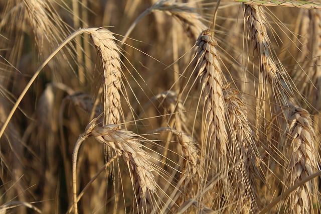 wheat-1175602_640