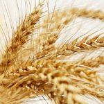 アメリカからポストハーベスト農薬による有毒小麦の押しつけ