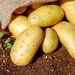 じゃがいもはフランス語で 「大地のリンゴ」という名前で薬効の類似性から呼ばれている。