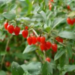 クコは長い間利用し続けているとめざましい不老長寿の効果をあらわす代表的植物