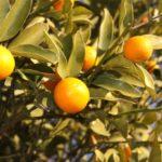 キンカン(金柑)はせき、たん、のどの痛みと、カゼ一般に有効である。