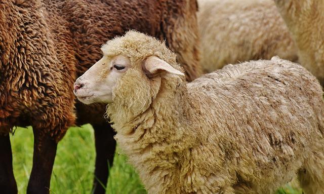 sheep-1585266_640