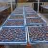 奈良県産有機栽培の梅を100%使用し伝統製法で仕上げた梅干し